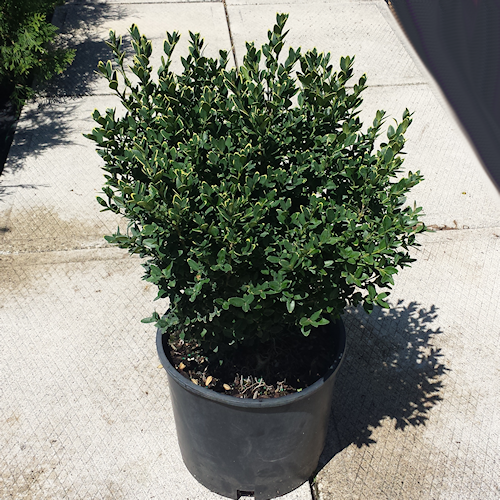Boxwood Green Mountain 3g